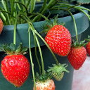 初夏から秋まで収穫出来る!四季成りいちご いちご姫1株