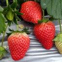 イチゴ(いちご) 宝交早生(ホウコウワセ) ポット苗1個 いちご 苗