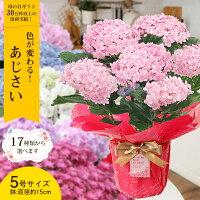 母の日 あじさい プレゼント ギフト17種類から選べるアジサイ5号サイズ 紫陽花 鉢植えこだわりラッピング全国送料無料