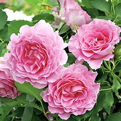 【バラ大苗は2本で送料無料対象品】バラ大苗 ピンク オブ プリンセス