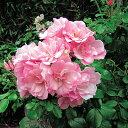 病気に強く生育旺盛いっぱい咲きます!フラワーカーペットローズ アップルブロッサム 3.5号ポット