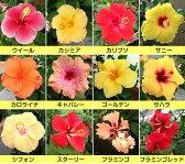 晩秋まで咲き続け毎年楽しめるハイビスカス5号鉢植えこれからどんどん勝手に大きくなります!
