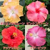 晩秋まで咲き続け毎年楽しめるハイビスカスアジアの風5号鉢植えこれからどんどん勝手に大きくなります!日本でも生産者が数名しかいない非常に希少な品種です