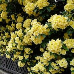 とげの無い黄色い木香バラ(キモッコウバラ) ポット苗