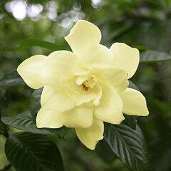 黄色いくちなし 8号鉢植え