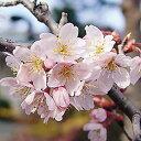 啓翁桜 1株