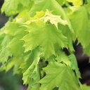 洋風ガーデンのシンボルツリーにノルウェー楓 プリンストンゴールド 1株