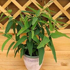 柑橘系の香りは蚊が嫌い!今年の新苗出来ましたレモンユーカリ 1株