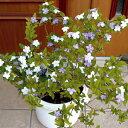 ジャスミンの香り漂う半耐寒性常緑低木 香りばんまつり( ニオイバンマツリ )1株