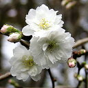 年に2回咲きます大阪冬桜 1株