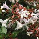 植えっぱなしOK!良い香り!常緑低木 【 アベリア グランディフローラ 】5号ポット苗