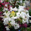 暑い夏も咲き続ける落葉低木 【 矮生 サルスベリ (白) 】 6号鉢