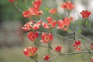 ハナミズキ(花水木)赤花 1株