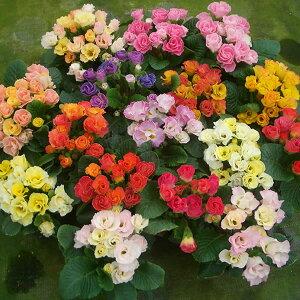 八重咲き プリムラ ジュリアンキャンディマジック