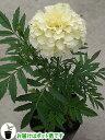 コンパニオンプランツを植えよう!マリーゴールド アフリカン ホワイトバニラ 1株