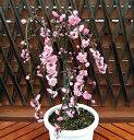 家庭樹花梅 6号鉢充実の花芽付き 選べるピンク&ホワイト全国送料無料・他品同梱可