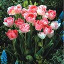 八重遅咲きチューリップ秋植え球根 C32−10P チューリップ アンジェリケ 10球