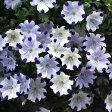 ネモフィラ マキュラータ ホワイト(ファイブスポット) 2株セット耐寒性 一年草