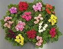 宿根草 リボンの様な花姿のプリムラ ジュリアン ハートカクテルミックス 3株セット冬咲き 鉢植え 庭植えガーデニング 寄せ植え等に