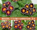 宿根草 フリル咲のプレミアム・プリムローズ(プリムラジュリアン)茜色の空 1株冬咲き 鉢植え 庭植えガーデニング 寄せ植え等に