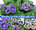 宿根草 フリル咲のプレミアム・プリムローズ(プリムラジュリアン)群青の空 1株冬咲き 鉢植え 庭植えガーデニング 寄せ植え等に