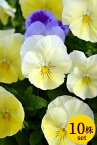 予約販売品 パンジー「プレンティーフォール レモンサプライズ」10.5cmサイズ大ポットお買い得10個セットパンジー ビオラ すみれ 苗 寄せ植え