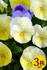 予約販売品 パンジー「プレンティーフォール レモンサプライズ」10.5cmサイズ大ポット3個セットパンジー ビオラ すみれ 苗 寄せ植え