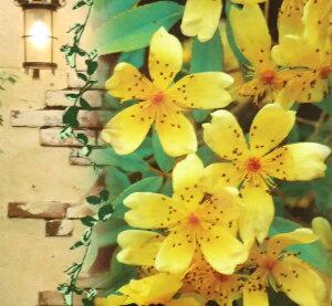 珍しい一重!☆ 芳香高い一重咲木香バラ(モッコウバラ)黄色12cmポット長尺物(全高約60cm)P14Nov15