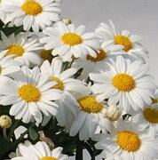 四季咲き マーガレット フォーシーズンズ ホワイト