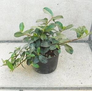 インドアプランツ(室内園芸)つる性ガジュマル9cmポット苗