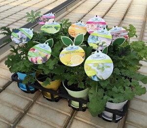 宿根草 選べる香りのゼラニューム10通りの香りをお楽しみください(センテッド ゼラニウム)4号鉢