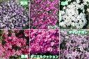 ☆宿根草芝桜(シバザクラ) ちまちま植えても仕方がない!15ポットでお買い得!送…
