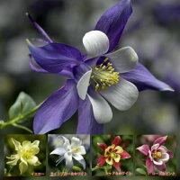 アクイレギア(西洋オダマキ)キリガミシリーズ1株宿根草寄せ植え鉢花イングリッシュガーデン