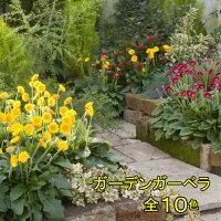 宿根ガーデンガーベラガルビネア選べる10色1株