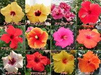 ☆晩秋まで咲き続け毎年楽しめるハイビスカスロングライフシリーズ5号鉢植え