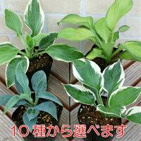 ホスタ(ギボウシ)選べる10種1株シェードガーデン日陰丈夫で増える