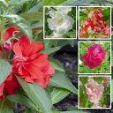ホウセンカ(ほうせんか)の苗 5色から選べる2株セット