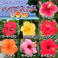 充実の6号鉢 多彩な20品種よりお選び下さいハイビスカス 6号鉢植え