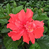 ☆晩秋まで咲き続け毎年楽しめるハイビスカス 6号鉢植え