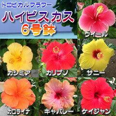 充実の6号鉢 多彩な品種よりお選び下さい【ハイビスカス 6号鉢植え】