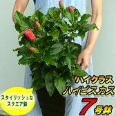 ☆晩秋まで咲き続け毎年楽しめるハイクラス ハイビスカス7号鉢植え