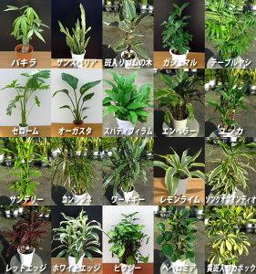 選べる観葉植物♪お部屋に一つは置きたくなる観葉植物。 育てやすいものを集めました。 お部屋にグリーンがあるだけで癒されますよ。