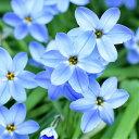 イフェイオン ハナニラ ウイズリーブルー10球パック秋植え 冬植え 春咲き 球根 イングリッシュガーデン