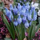 ムスカリ アズレウム 15球パック秋植え 冬植え 春咲き 球根 イングリッシュガーデン セット