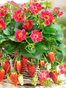 新品種のいちご四季成りで鈴成りになる「いちご」 トリスタン 1株