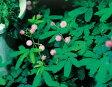 楽天1位花の種 おじぎ草(オジギソウ)の種 30粒一年草