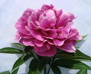 今年の新色です宿根草 【 芍薬 ( シャクヤク ) 夕映 】6号スリット鉢植え