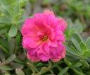 八重咲きポーチュラカ 可愛いピンク 2株