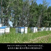 9月スーパーセール!【カナダ産アルバータはちみつ1kg】はちみつハチミツハニー蜂蜜HONEY外国産安心安全ピュア純粋百花蜜クインビーガーデン1kg