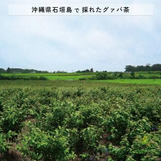 国産グァバ茶ティーパック2g×140包≪国産沖縄県石垣島産≫送料無料ネコポス[グアバ茶|ぐぁば茶|ぐあば茶|ガバ茶|沖縄グァバ茶|グァバ茶国産|グァバ茶送料無料|グァバ茶ティーバッグ]